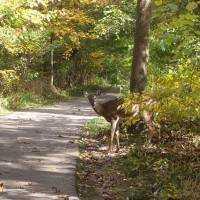 Deer on Riverwalk